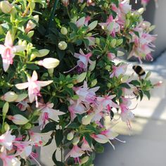 Compact semi-trailing form with masses of upwards and outwards growing flowers.