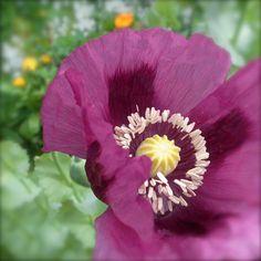 organic poppy seeds - breadseed poppy - papaver somniferum