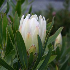 Protea compacta hybrid Donna is a handsome shrub with beautiful soft creamy white flowers in winter. Ideal for hedges cut flowers and is bird attracting. If