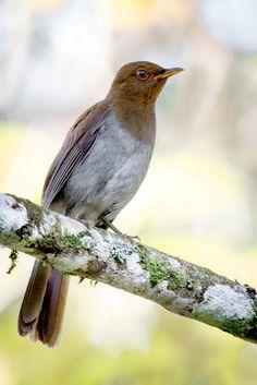 Foto sabiá-castanho (Cichlopsis leucogenys) por Thiago Calil | Wiki Aves - A Enciclopédia das Aves do Brasil