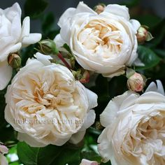 Summer Memories (Rose):- (Koruteli) - An Old-World style fragrant, double bloom in a warm creamy shade of white covers a dense bush with fantastic disease resistance.