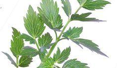 Bylinkový speciál: Libeček lékařský - Vitalia.cz Kraut, Korn, Pesto, Plant Leaves, Deodorant, Herbs, Health, Plants, Fitness