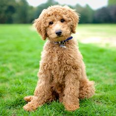 Like puppies? Meet the cutest Labradoodle ever, Max. Photo Credit: Elias Weiss Friedman, The Dogist, LLC; TheDogist.com