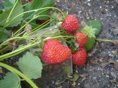 Evitar que las fresas toquen el sustrato - Picarona y su huerto