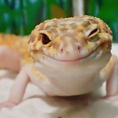 Lepord Gecko, Leopard Gecko Cute, Baby Leopard, Happy Animals, Animals And Pets, Funny Animals, Cute Animals, Cute Reptiles, Reptiles And Amphibians