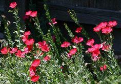 Linum grandiflorum, Scarlet Flax