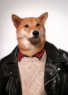 Bodhi, or more popularly known as Menswear Dog, is a old shiba inu living the stylish life in New York City. He currently has an Indiegogo project underway, and if it's successful, we could see Menswear Dog's suits and bow ties on our not-so-stylish Unique Dog Breeds, Rare Dog Breeds, Menswear Dog, Japanese Dogs, Mini Pigs, Wool Gloves, Made Clothing, Guys Be Like, Grumpy Cat