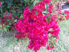 Bouganville from my garden