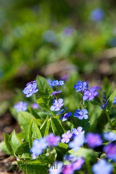 Sinisenä vellova kukkameri - kevätkaihonkukka