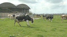 Cows Happy to be Released