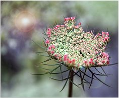 Pink Queen Anne's Lace by Ms Ladyred, via Flickr