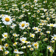 Daisy# #margherite #flowers #love #nature #spring #festadellamamma #natura #fiori #instapic #daisy #yellow #naturelovers #relax #flower #sun #primavera #instalike #sunnyday #verde #prato #colori #green #sunday #instagram #instaflower #happiness #instanature #beautiful #cute #me by stikkiodipupo