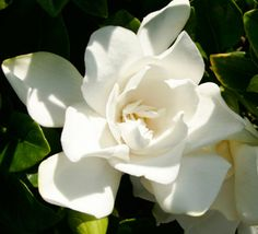A charming improvement on a Southern favorite, Jubilation grows compactly with fragrant, white blooms in spring; reblooming sporadically through summer into fall.