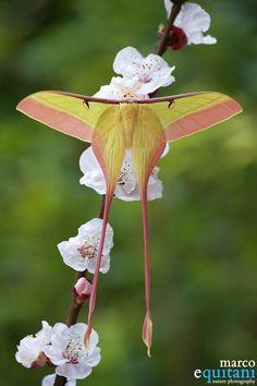 "Mariposa da espécie ""Actias dubernardi"" conhecida lá na China, onde ela vive, como mariposa da lua."
