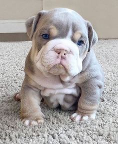 The major breeds of bulldogs are English bulldog, American bulldog, and French bulldog. The bulldog has a broad shoulder which matches with the head. Cute Bulldog Puppies, Super Cute Puppies, Baby Animals Super Cute, Cute Bulldogs, Cute Baby Dogs, English Bulldog Puppies, Cute Little Puppies, Cute Dogs And Puppies, Cute Little Animals