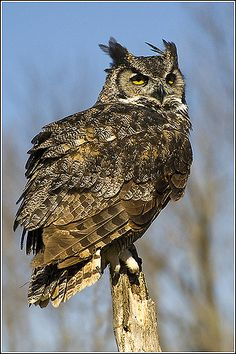 Owl (Great-horned) - 0049   par Earl Reinink