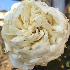 """""""#バラ#Rose #ボレロ#Bolero#メイアン#Meiland #フレンチローズ#FrenchRose #花#Flower #ガーデニング#Gardening #イマソラ  おはようございます☀️ 今日は4月並みの暖かさになると言ってますが 朝は霜が降りて寒かったです❄️ 一輪だけ咲いたボレロ…"""""""