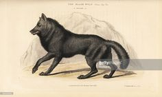 eastern-wolf-canis-lycaon-handcoloured-copperplate-drawn-and-engraved-picture-id594209553 (1024×616)