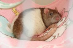 Rosi the Fancy Rat | Flickr - Photo Sharing!  So sweet!
