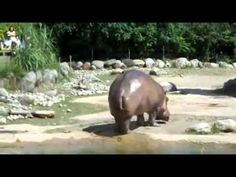 This Is Priceless. This is a hippo sharting