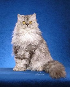 """Selkirk Rex cat photo © copyright Helmi Flick Origin This breed is one of three breeds of Rex cats. The word """"Rex"""" is a name that has through usage come to refer to the hair/fur of the Selkirk Rex Kittens, Soft Kitty Warm Kitty, Kitty Kitty, Curly Cat, Rex Cat, Cute Cats And Kittens, Cute Funny Animals, Beautiful Cats, Cat Breeds"""