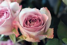 "Pastel ruža - iz našeg buketa ""Pastel ruže"". http://www.buket.hr"