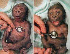 newborn baby gorilla at Melbourne Zoo in Australia gets a checkup at the hospital and shows suprise at the coldness of the stethoscope <3