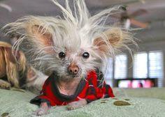 Dog of Don King (joke) Funny Animal Jokes, Cute Funny Animals, Funny Animal Pictures, Animal Memes, Funny Dogs, Haha Funny, Funny Cute, Funny Memes, Hilarious