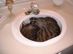 cats who love sinks