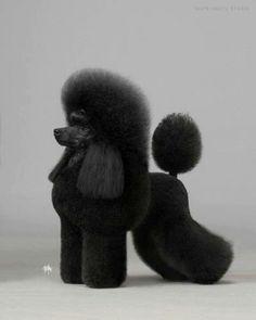 Mini Poodle to breed to wifi lol