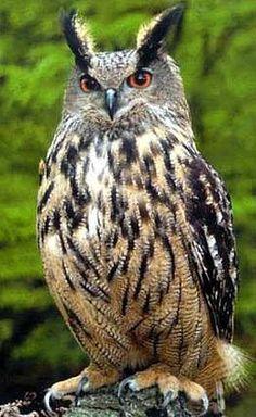 }{         Eagle Owl