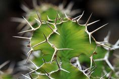 Euphorbia / wolfsmelk