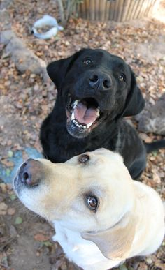 Mind Blowing Facts About Labrador Retrievers And Ideas. Amazing Facts About Labrador Retrievers And Ideas. Black Lab Puppies, Cute Puppies, Cute Dogs, Dogs And Puppies, Corgi Puppies, Doggies, Black Labrador Retriever, Labrador Retrievers, Labrador Puppies