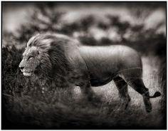 Nick Brandt, Windswept Lion