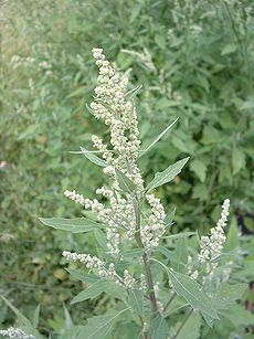 Chenopodium Album (Lambs Quarters) is a fast-growing weedy annual plant in the genus Chenopodium. Buy Chenopodium Album seeds online on rarexoticseeds as well as many other exotic plants seeds. Carnivorous Plants, Medicinal Plants, Leaf Vegetable, Cactus Plante, Potager Bio, Seeds Online, Edible Plants, Annual Plants, Exotic Plants
