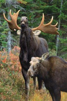 Bull Moose Lip Curl