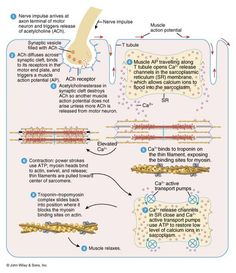 Muscle contraction and relaxation: Excitation, excitation-contraction coupling, contraction, relaxation. Medical Facts, Medical Science, Np School, Exercise Physiology, Musculoskeletal System, Muscle Contraction, Muscular System, Human Anatomy And Physiology, Muscle Anatomy