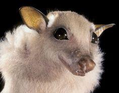 Bat. Such a beautiful little face! She looks like Stella Luna.