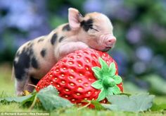Ridiculously Adorable Teacup Pigs | Wave Avenue