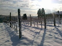 Snow on the Tignanello Vines