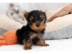 listing Yorkshire Terrier mazing Teacup Yorkie P... is published on Free Classifieds USA online Ads - http://free-classifieds-usa.com/for-sale/animals/yorkshire-terrier-mazing-teacup-yorkie-puppies_i32530