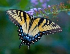 Tiger Swallowtail Butterfly by Mark Chandler Photography on...