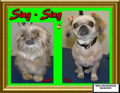 Welcome Sing - Sing! Here first time here and she came to get all cleaned up for Christmas. Sing Sing, Small Breed, Little Dogs, Dog Grooming, Shih Tzu, Own Home, Pugs, Your Dog, Christmas