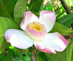 Heaven Lotus (Gustavia gracillima)