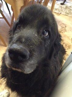 Memphis / Newfoundland dog