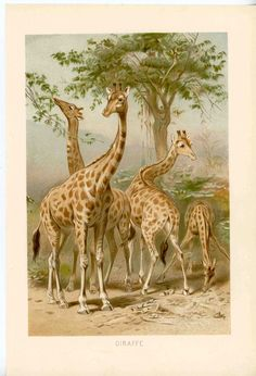 Hey, I found this really awesome Etsy listing at https://www.etsy.com/listing/95211944/1894-giraffe-family-antique-original