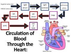 Medical and Health Science: Cardiovascular System Anatomy and Physiology Nursing School Tips, Nursing Tips, Nursing Notes, Nursing Career, Nursing Schools, Cardiac Nursing, Nursing Mnemonics, Circulatory System For Kids, Respiratory Therapy