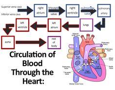 Cardiovascular System Anatomy and Physiology - Nurseslabs