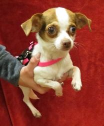Stella is an adoptable Chihuahua Dog in Riverview, MI.   Name: Stella DOB: Sex: Female Breed: Chihuahua ID#: Adoption fee: $220 (cash only) About me: When you submit an application please include the...