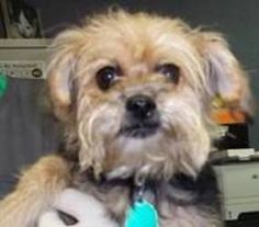 Gabbie is an adoptable Shih Tzu Dog in Springfield, MO. Note: Dogs are pack animals and do not do well away from other members of their pack. The adopter is the alpha member of the pack, and the dog o...